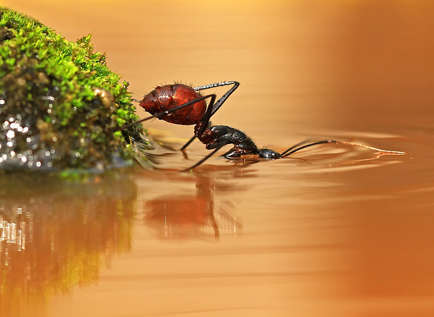 ant macro photography by shikhei goh
