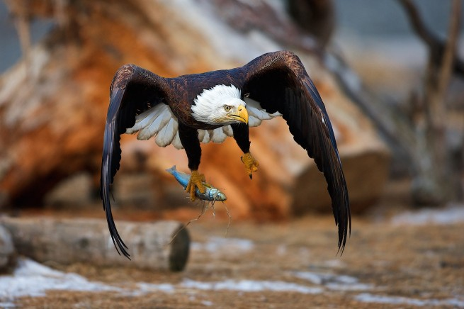 perfect timed photography eagle