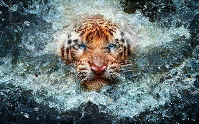 wildlife photography tiger