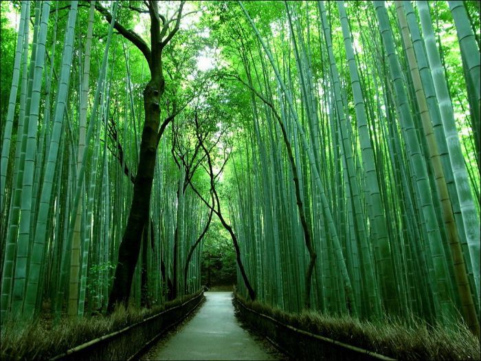 japan bamboo forest photography