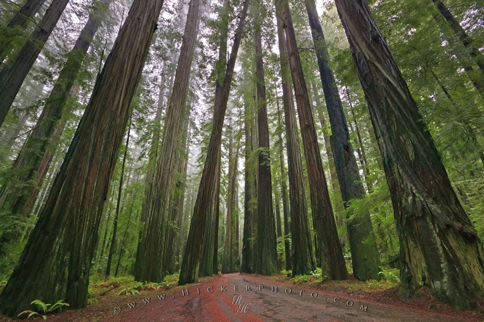 redwood forest photography