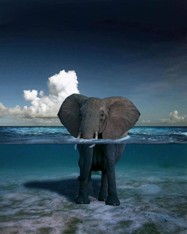 elephant underwater photography -  5