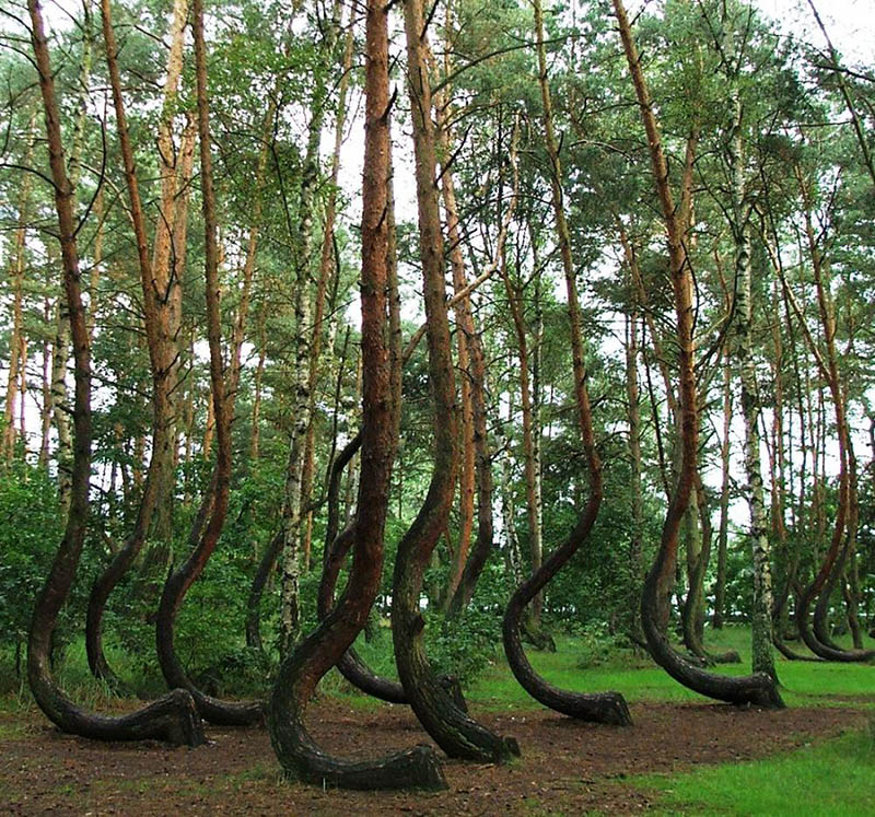 8 crooked poland forest photography