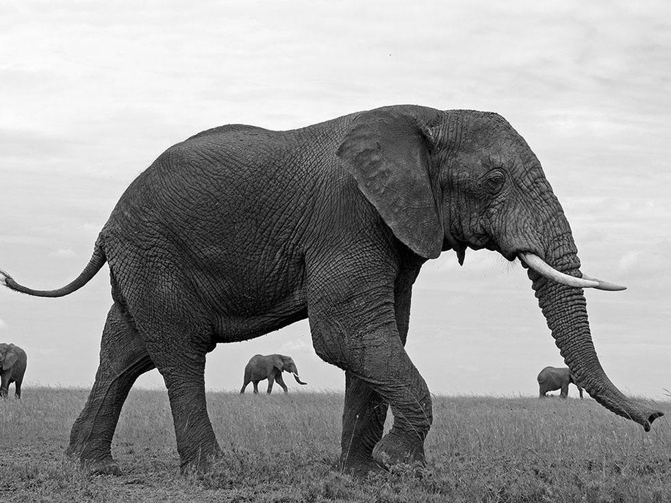elephant black white photography