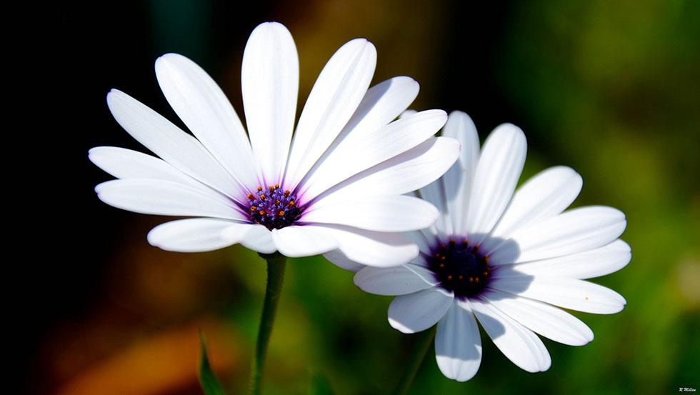flower photography romain