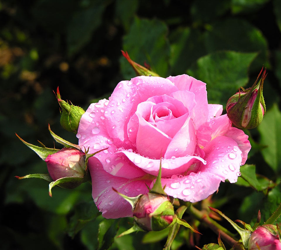 pink rose flower photography Images