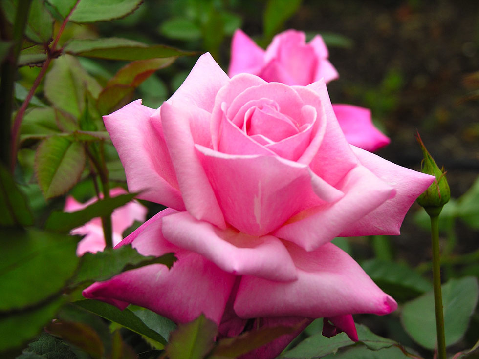 pink roses flower photography