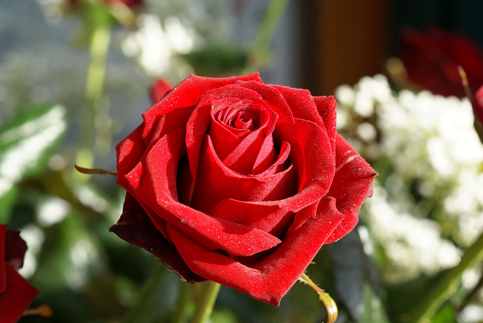 red rose flower photography