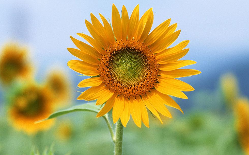 sun flower flower photography