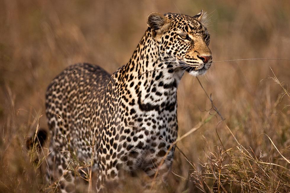 wildlife photography leapord suha derbent