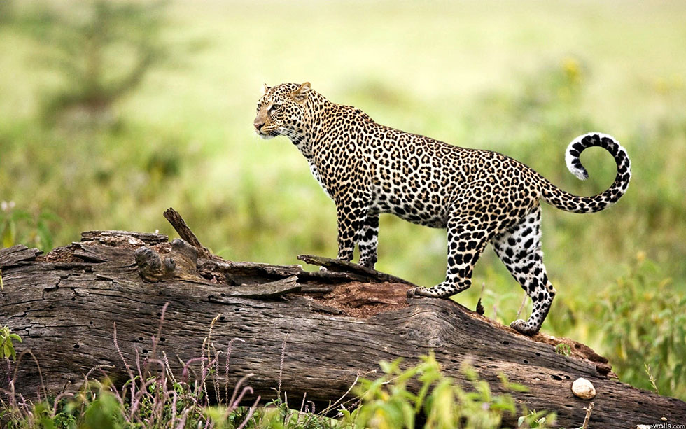 wildlife photography leopard
