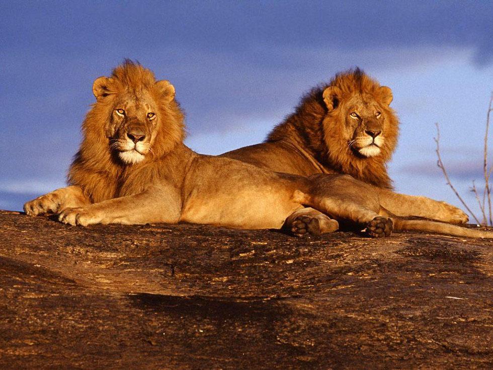 wildlife photography lions