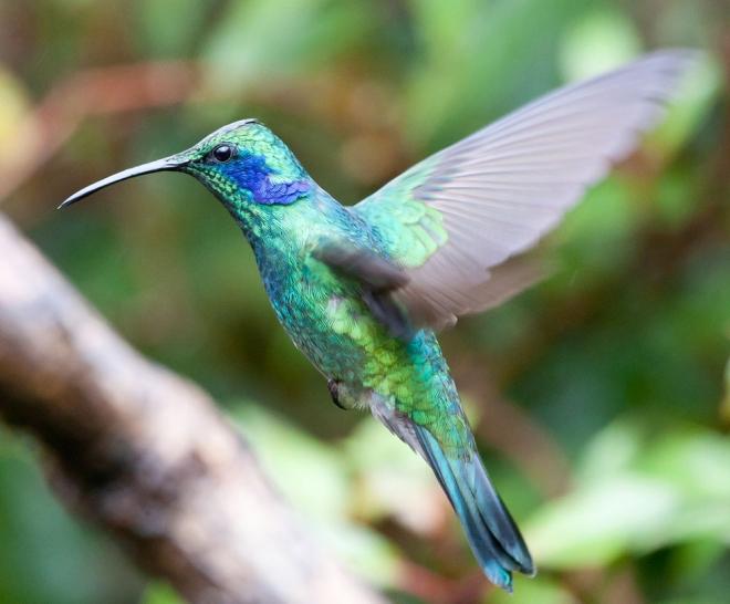 bird photography humming bird flying chris morgan