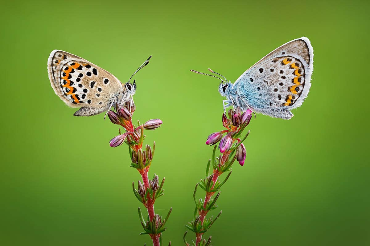 macro photography spotted butterflies by qasim syed