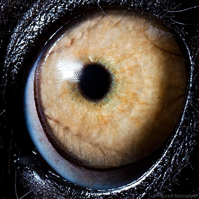 macro photography lemur catta eye by suren manvelyan
