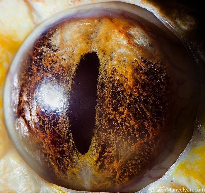 macro photography tiger python eye by suren manvelyan
