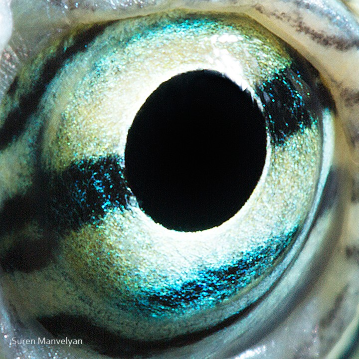 macro photography red eared turtle eye by suren manvelyan