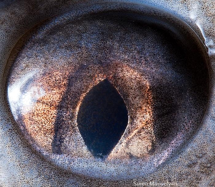 macro photography sterlet eye by suren manvelyan