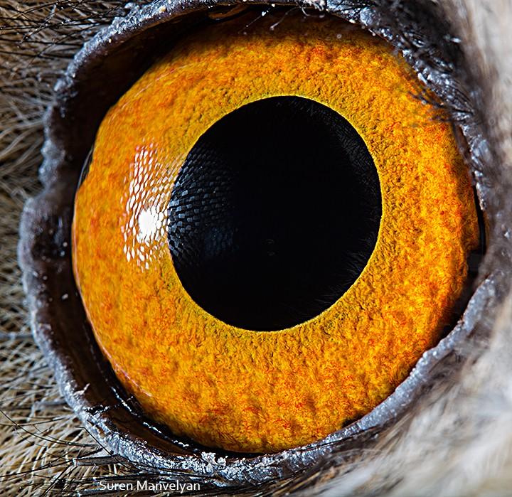 macro photography long eared owl eye by suren manvelyan