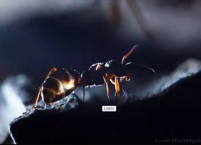 macro photography ant by suren manvelyan