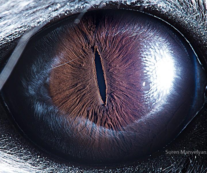 macro photography chinchilla eye by suren manvelyan