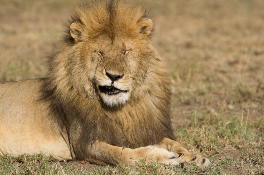 lion wildlife photography by paul joynson hicks