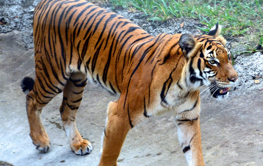 bengal tiger wildlife photography by cathy scola