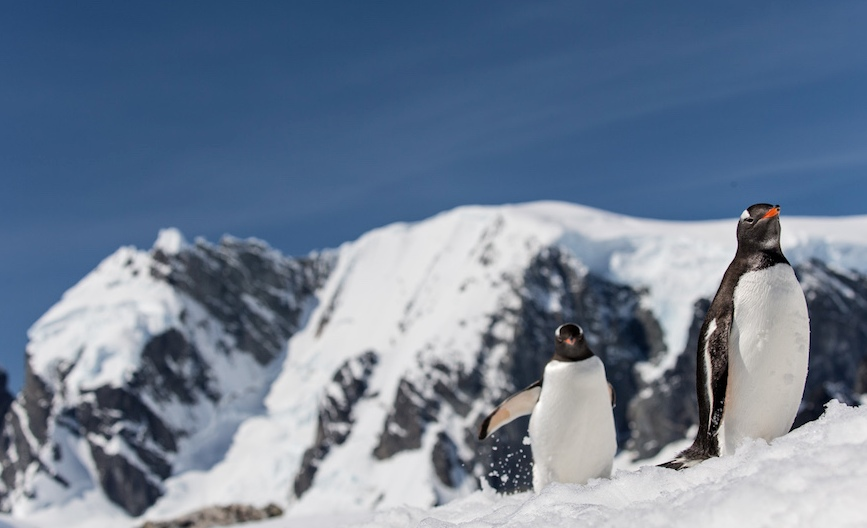 antarctica penguin family photography by alex cornell