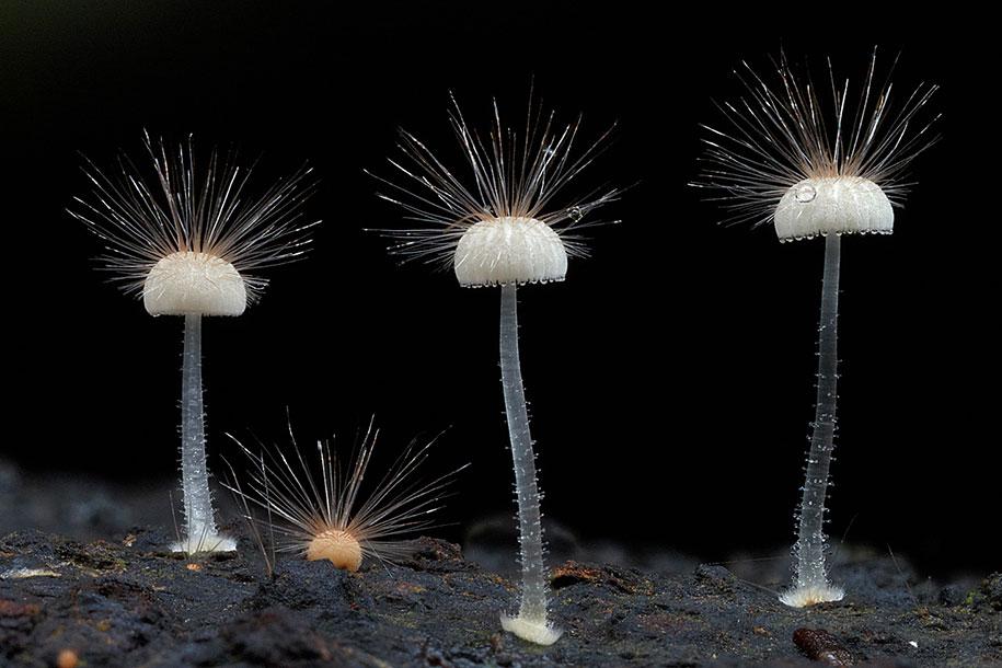 hairy mycena mushroom macro photography steve axford