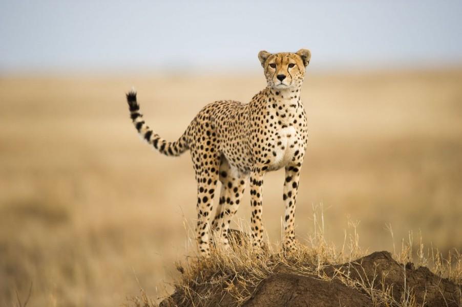 cheetah wildlife photography by paul joynson hicks