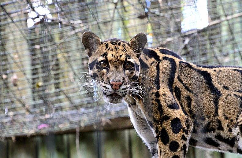 clouded leopard wildlife photography by cathy scola