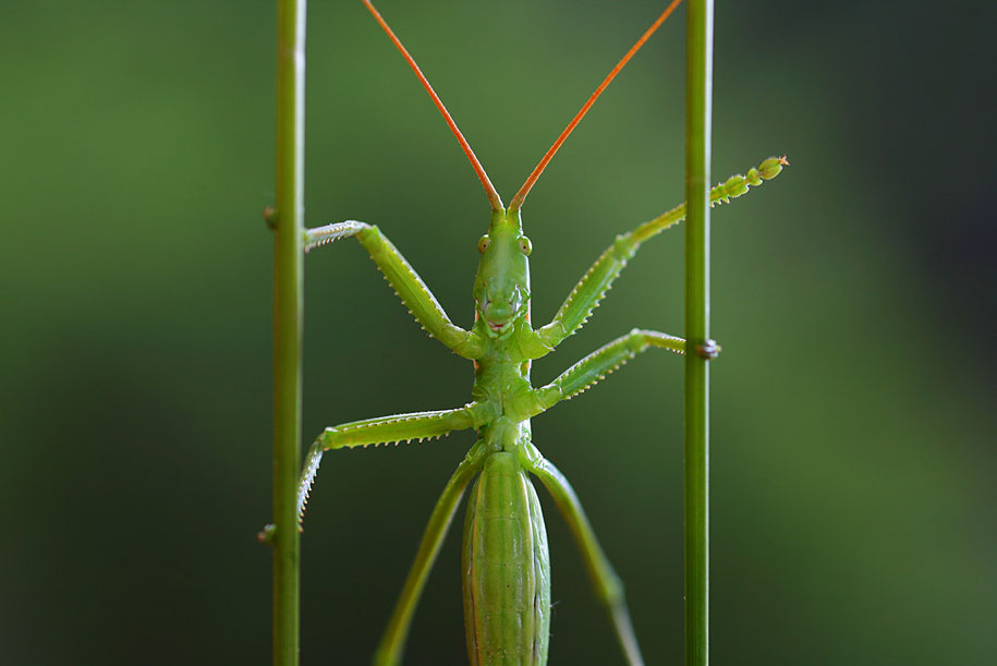 grasshopper macro photography by vadim trunov