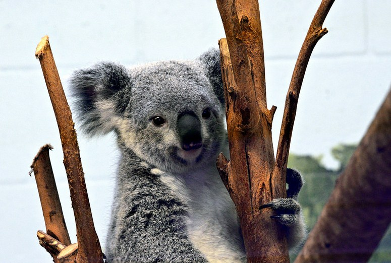 koala wildlife photography first class by cathy scola