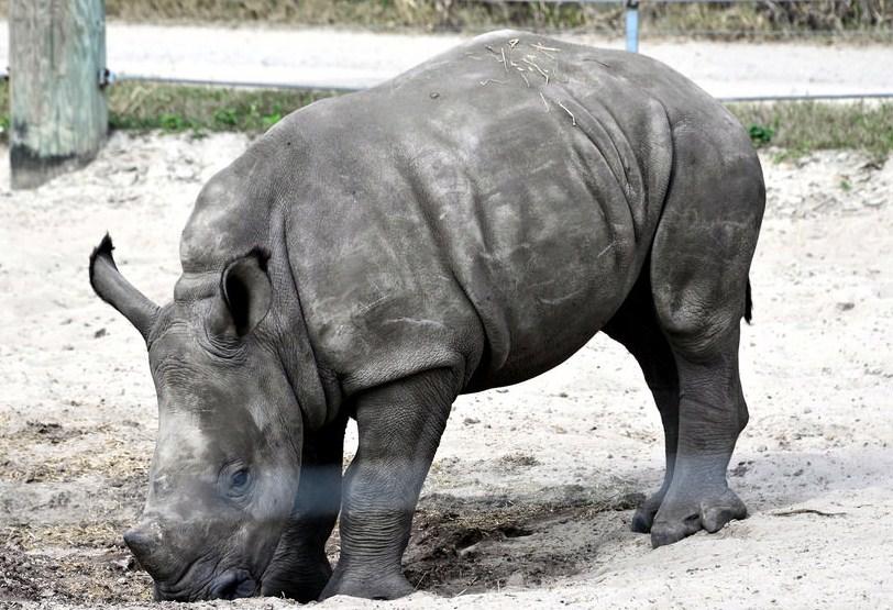 indian rhinoceros by cathy scola