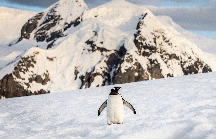 antarctica penguin photography by alex cornell