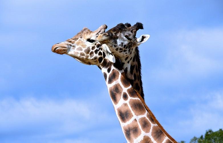 giraffe head wildlife photography by cathy scola