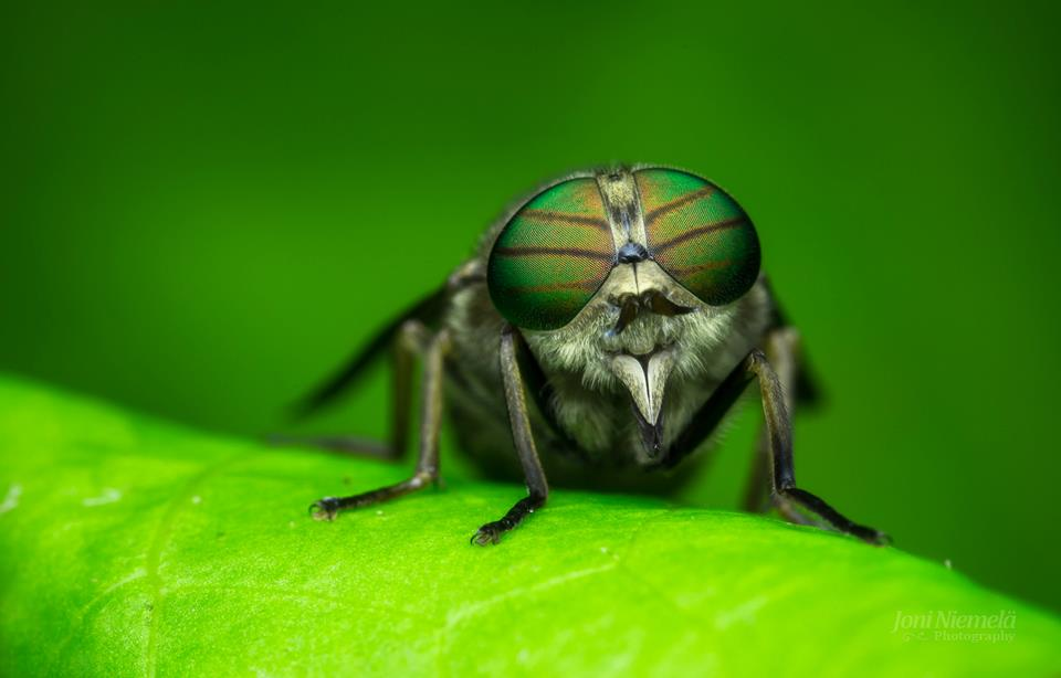 2 housefly macro photography by joni niemela