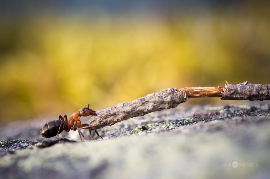 ant macro photography by joni niemela