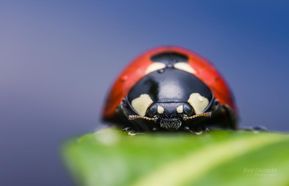 ladybug macro photography by joni niemela