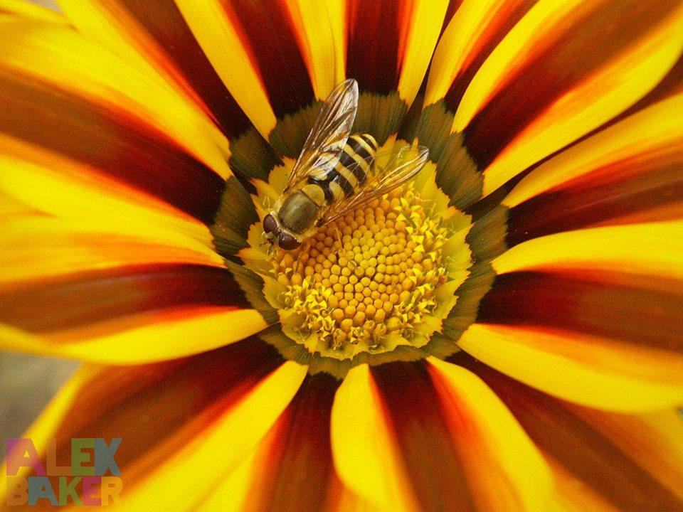 wasp macro photography by alexandra baker