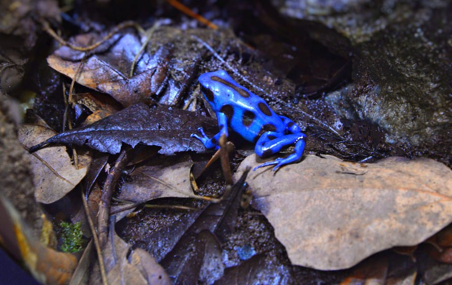 poison frog wildlife photography by cathy scola