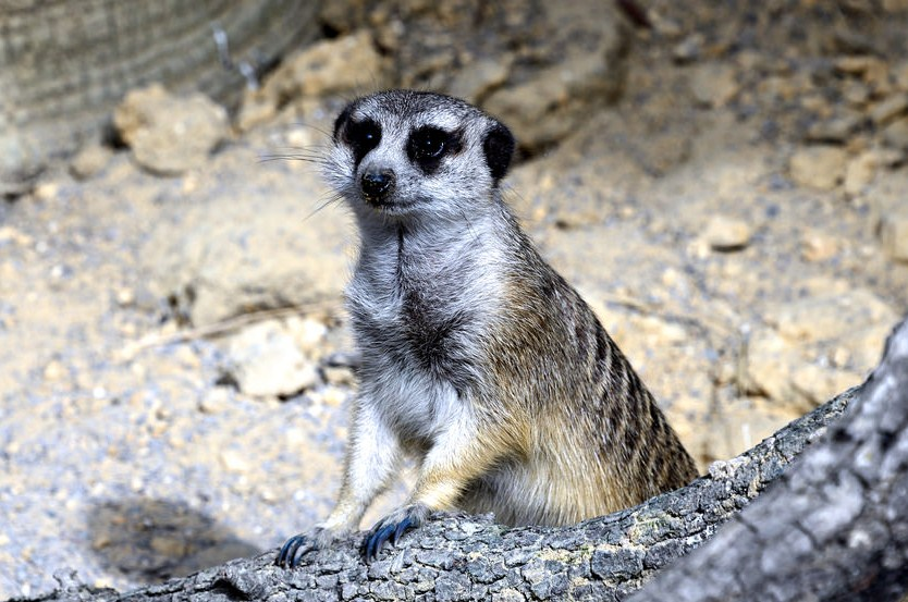 meercat wildlife photography by cathy scola