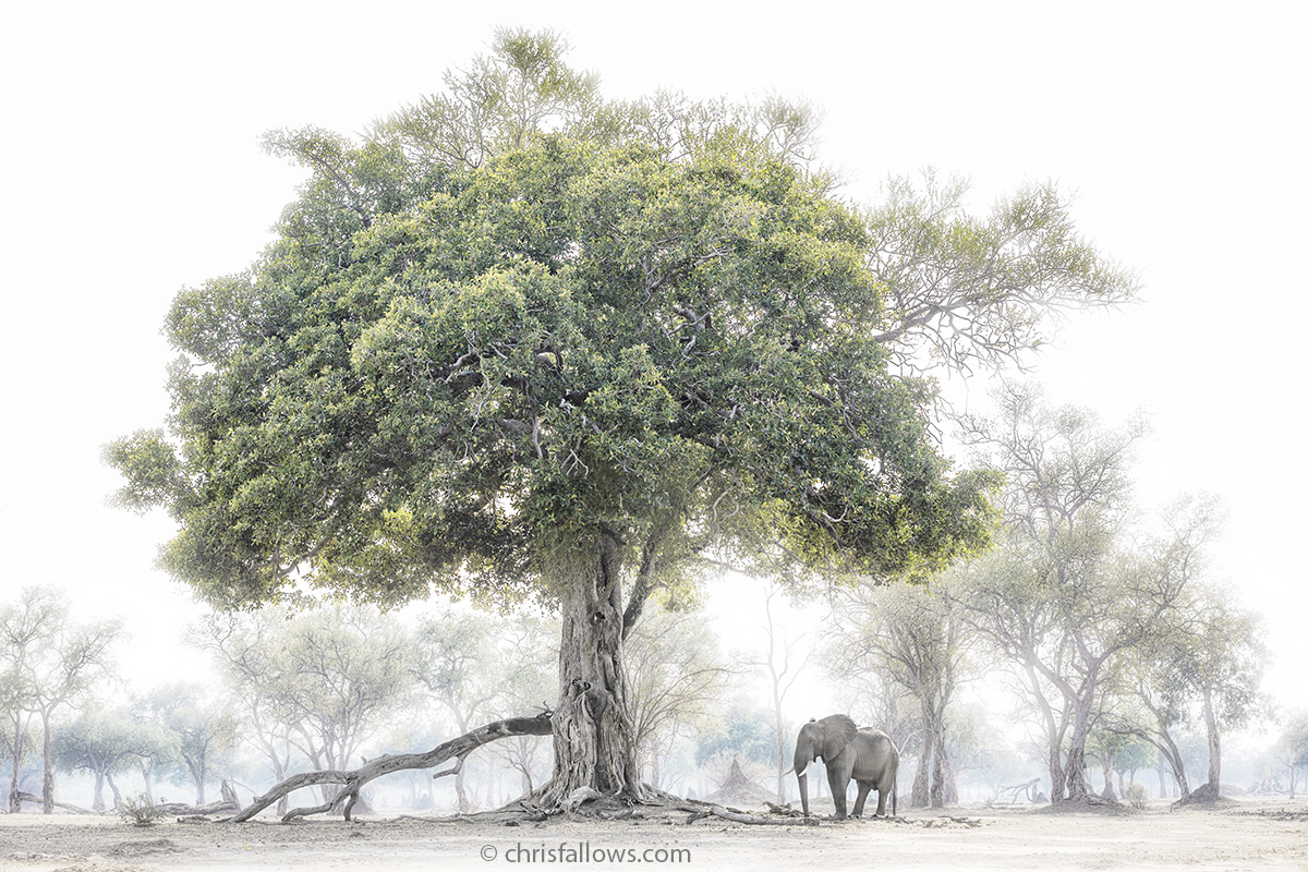 forest elephant photography by chris fallows