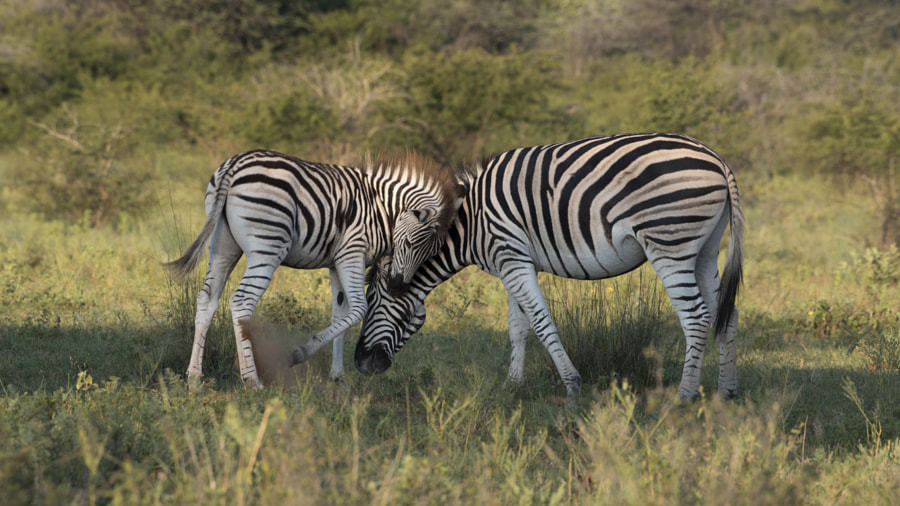 beautiful animals love photography zebra by clement charbonnier