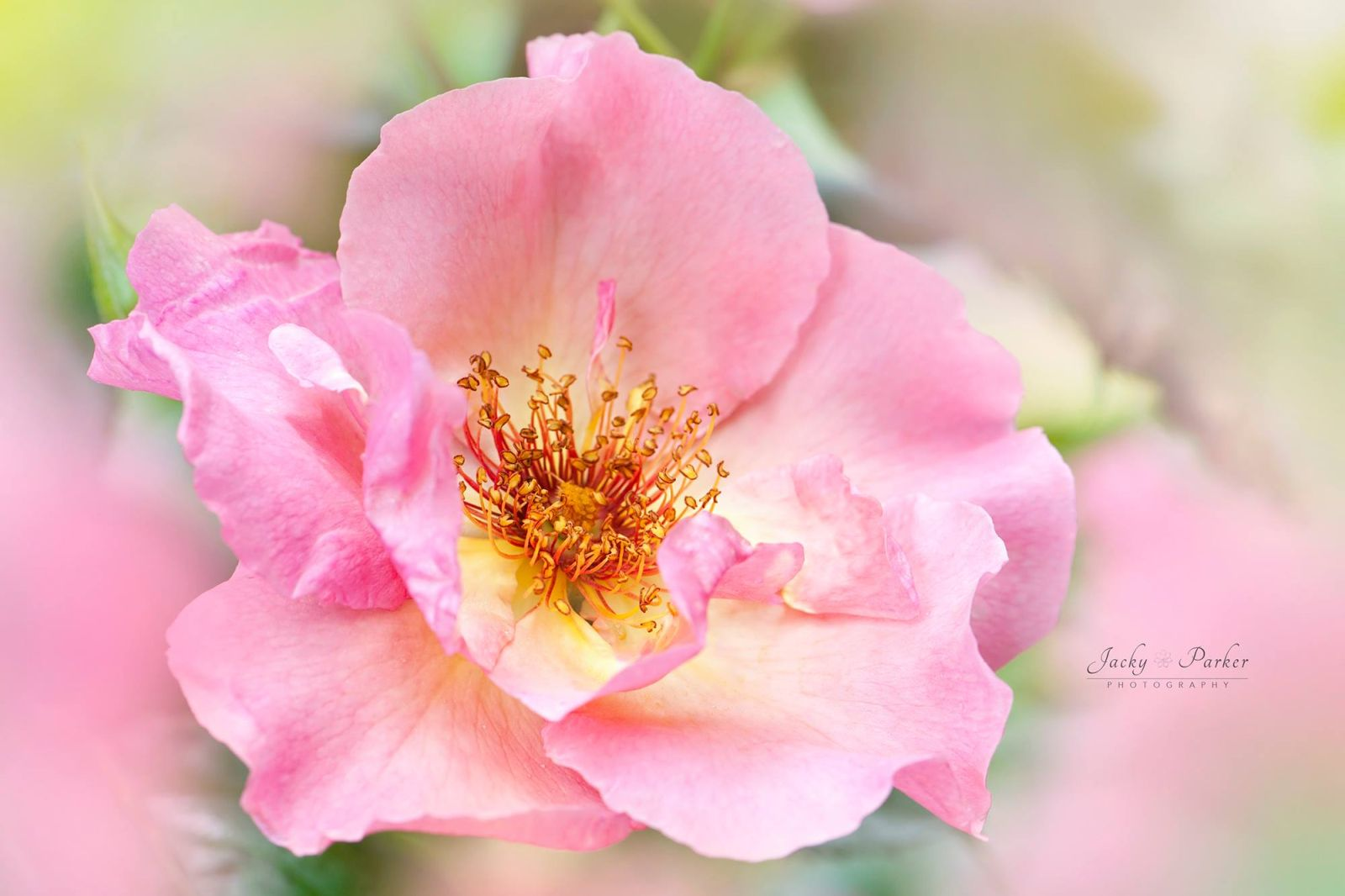 13 beautiful flower photography by jacky parker