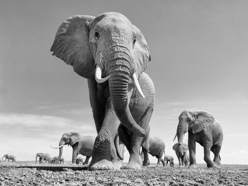 wildlife photography elephant by chris fallows