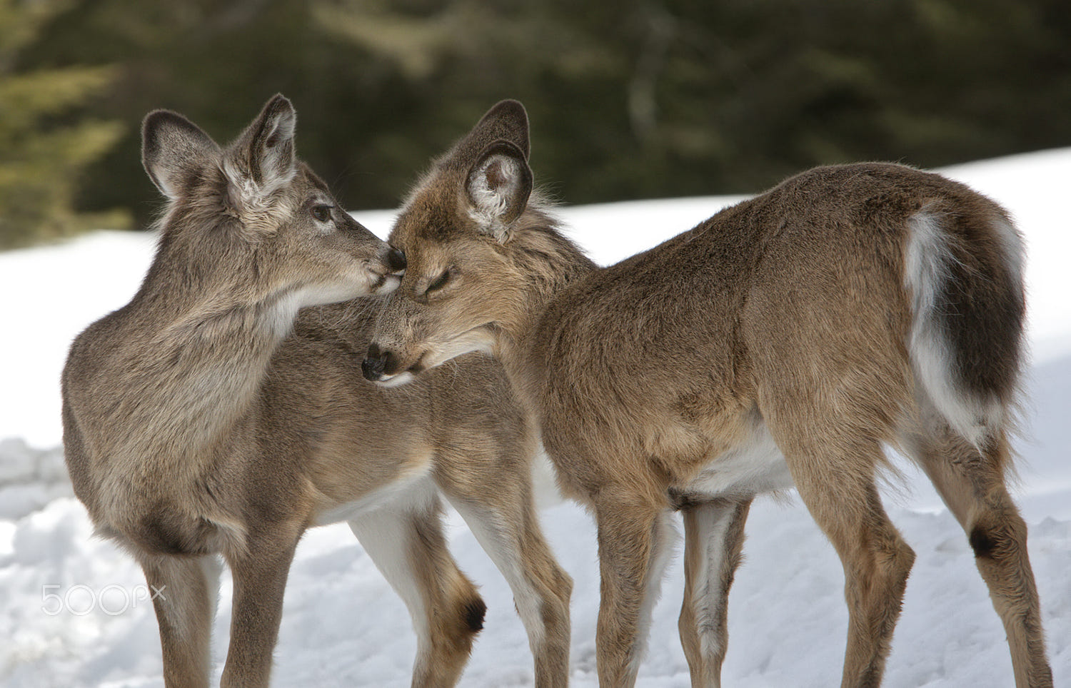 beautiful animals love photography deer by renald bourque