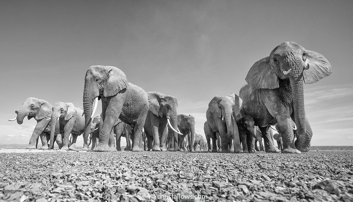 amazing elephant photography by chris fallows