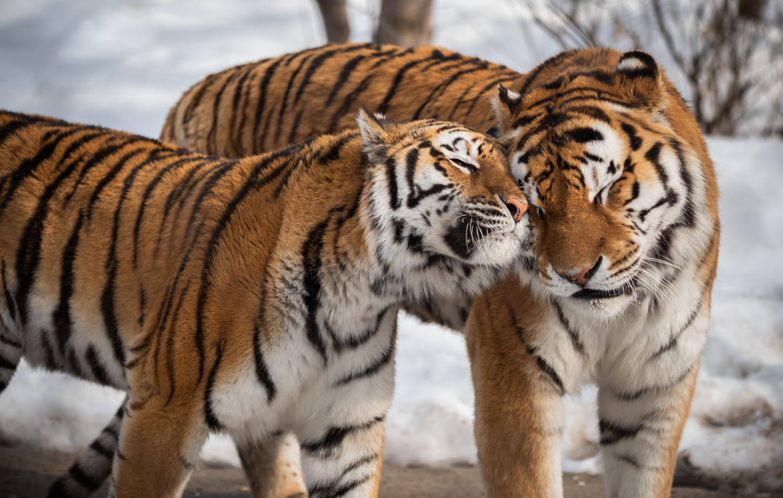 best animals love photography tiger by mathieu archambault