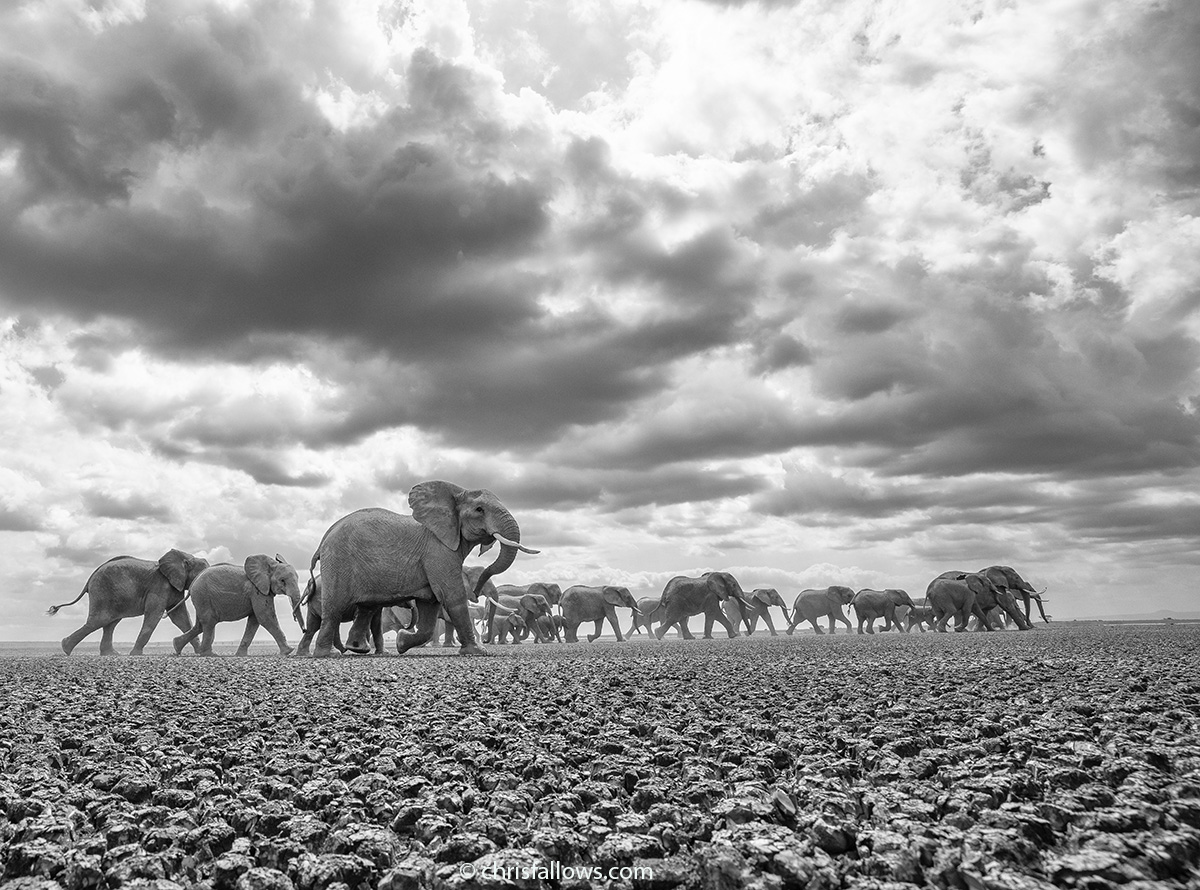 elephant photography by chris fallows